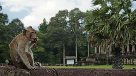 Affen vor dem Tempel