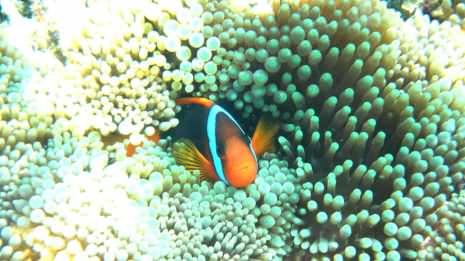 Nemo in seiner Anemone