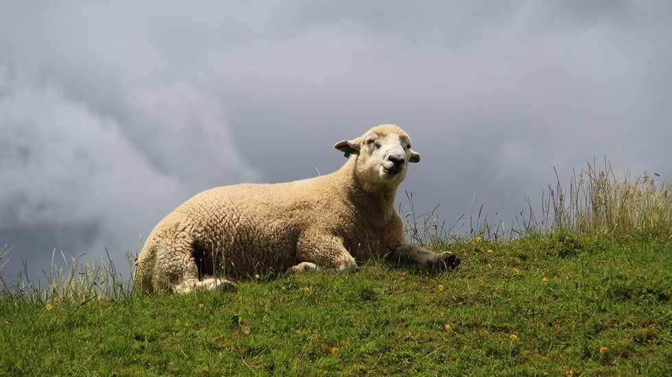 Ein Schaf