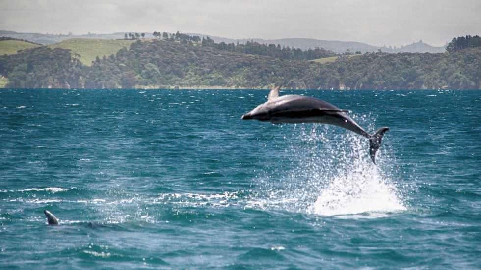 Delfin Neuseeland