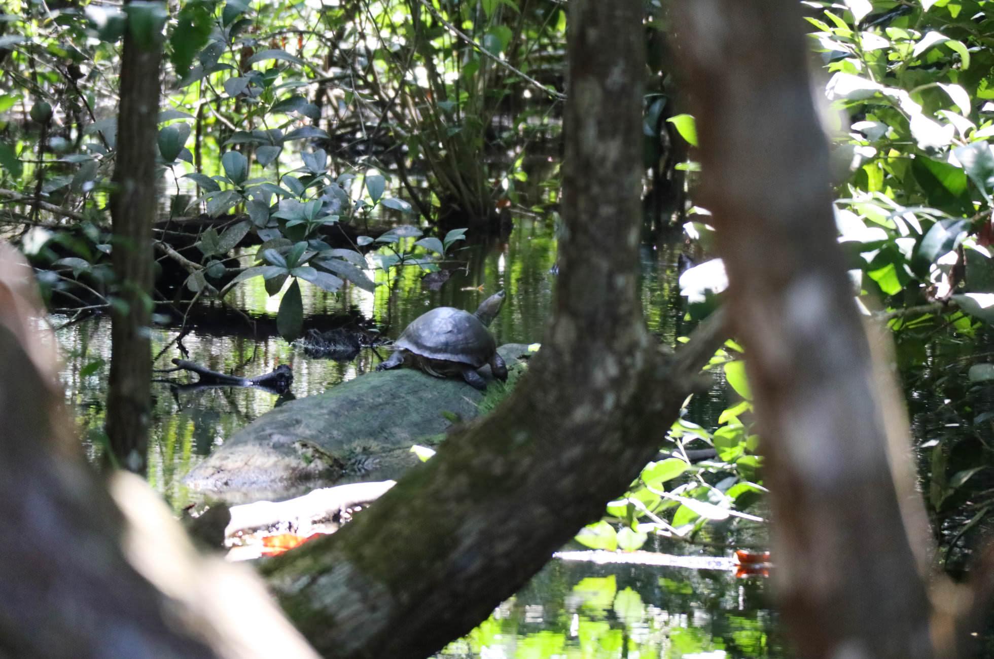 Schildkröte Cahuita Costa Rica