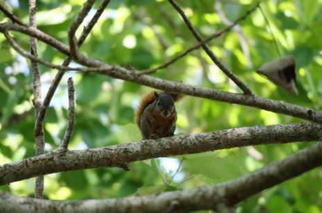 Eichhörnchen Costa Rica
