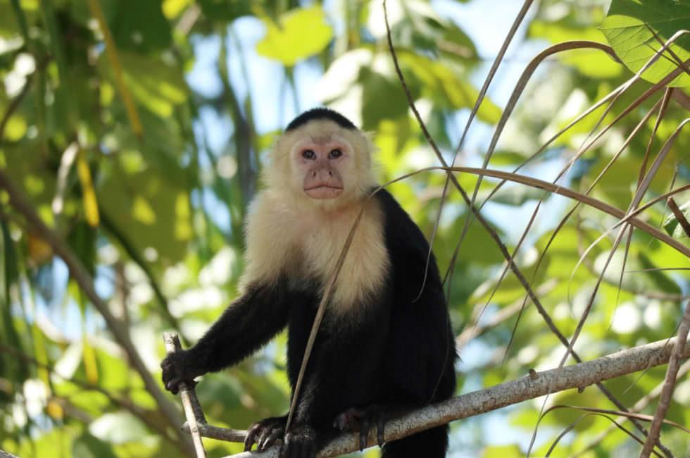 Affen Costa Rica