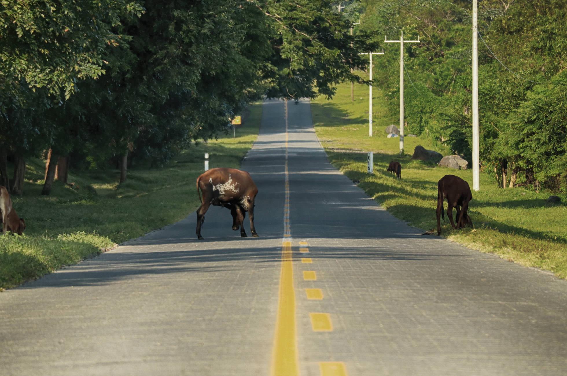 Kühe auf Straße