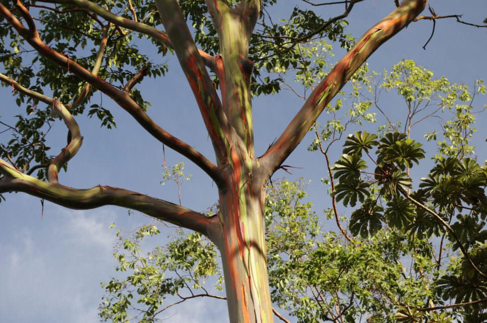 Eukalyptus Costa Rica