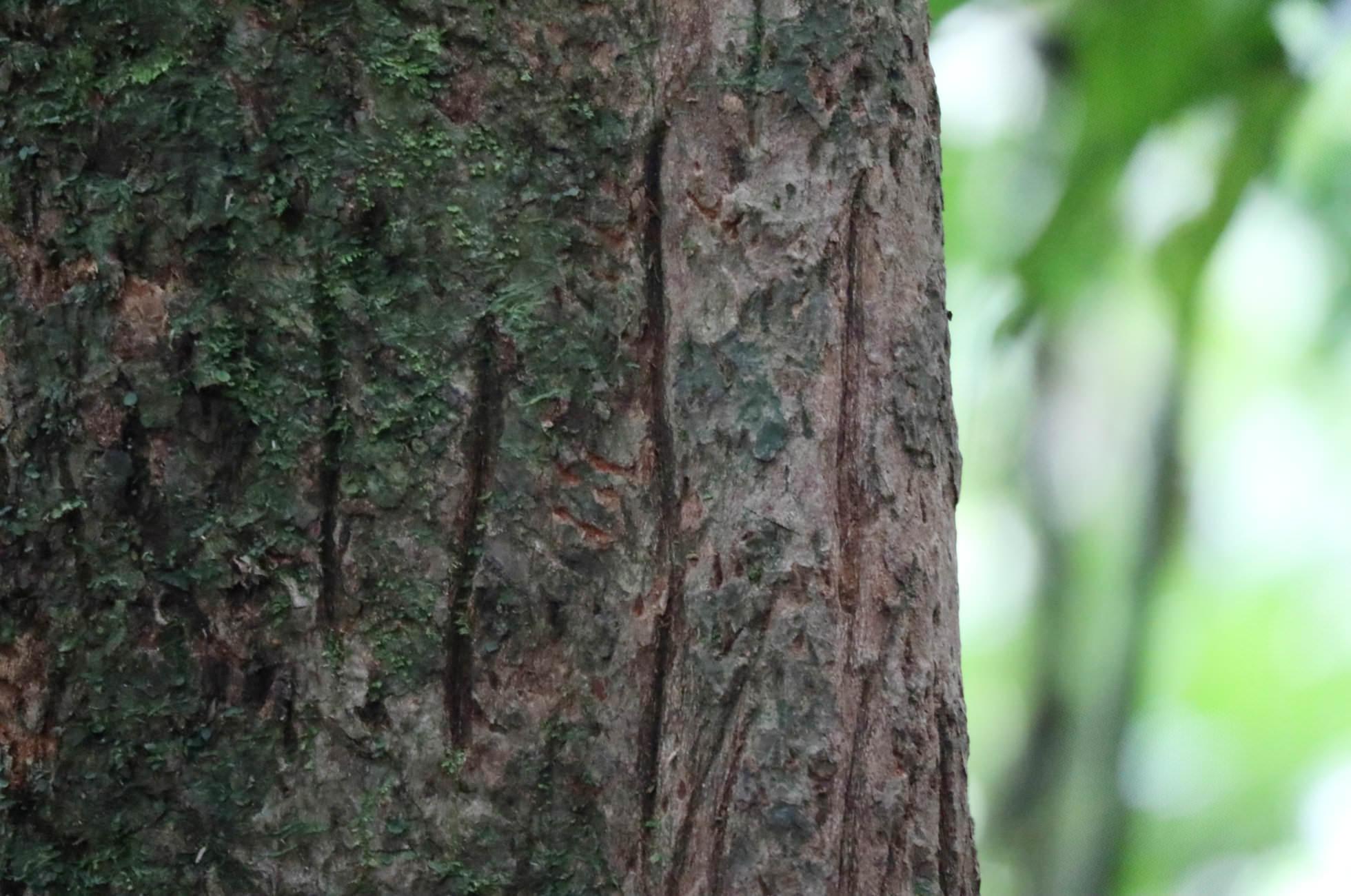 Kratzspuren Bäume Vulkan Arenal