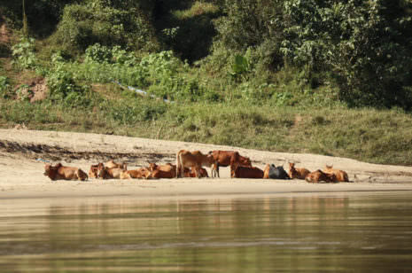 Kühe Mekong Laos