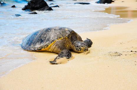 Schildkröten Sri Lanka
