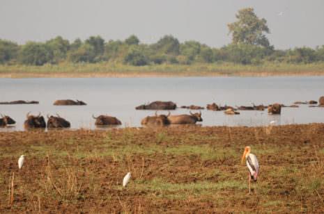Wasserbüffel Sri Lanka