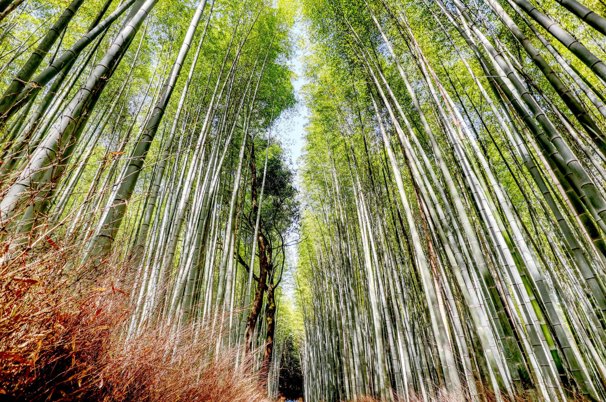 Der Arashiyama Bamboo Groove