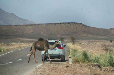 Kamel läuft über Straße