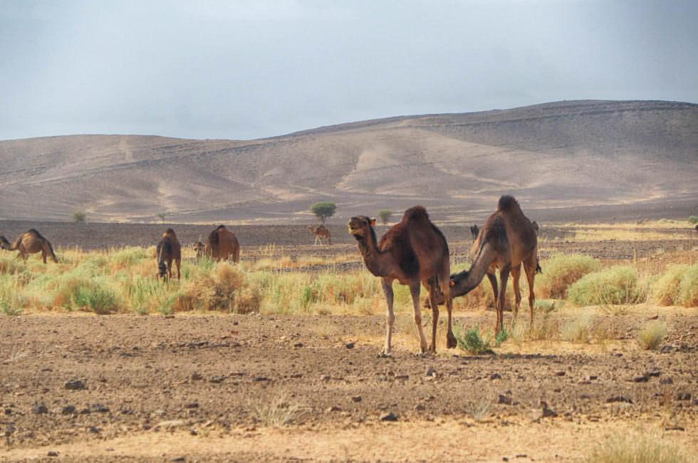 Wilde Kamele Marokko